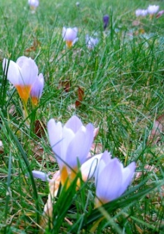 Crocus flowers in the grass